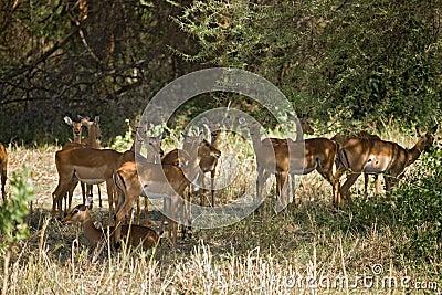 Animals 012 gazelle