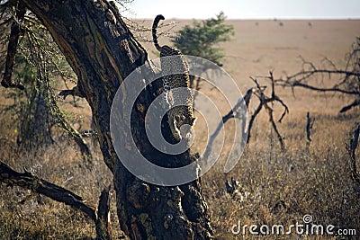 Animals 027 leopard