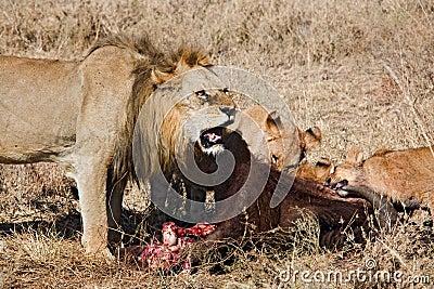 Animals 040 lion