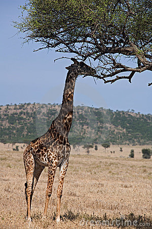 Animals 046 giraffe