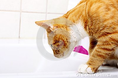 Animals at home red baby cat pet kitty in bathroom
