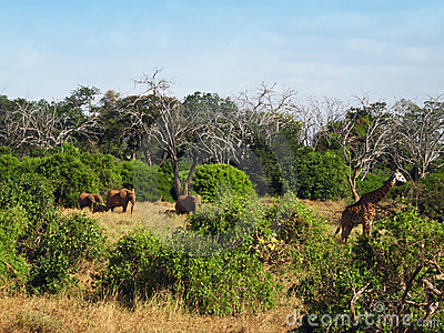Animals on the savannah