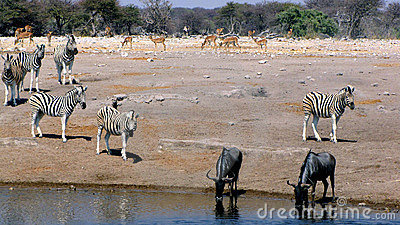 Animals at waterhole