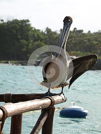 Animated pelican.