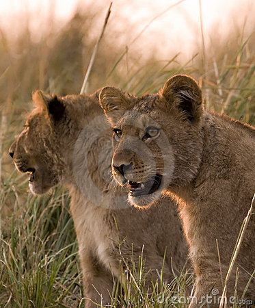 Animaux de lion dans le chobe
