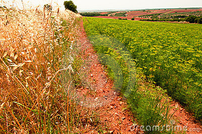 Anise field in Greece