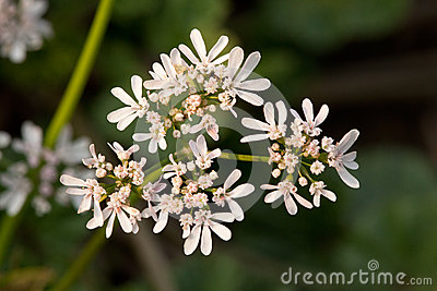 Anise flowers