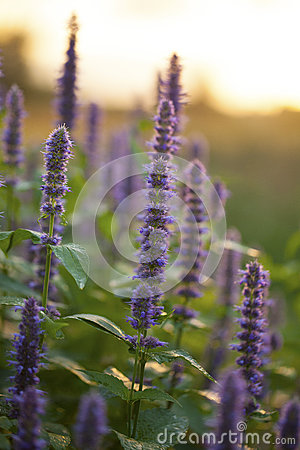 Free Anise Hyssop Royalty Free Stock Photography - 76251427