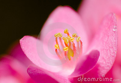 Anjo cor-de-rosa