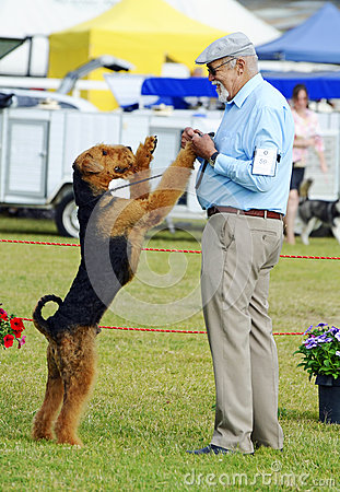 Free ANKC Pro Show Dog Handler Exhibitor Having Fun With His Airedale Terrier In Show Ring Stock Photos - 71501683