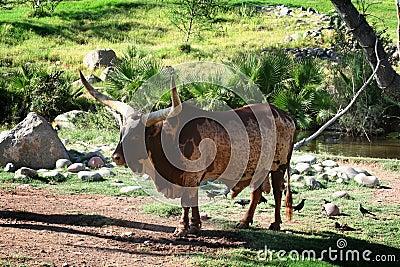Ankole-Watusi Bull