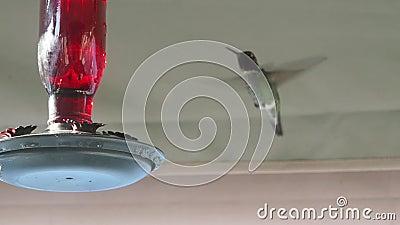 Anna är Hummingbird på en matare, långsam rörelse lager videofilmer