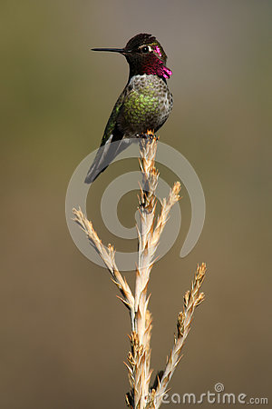 Free Anna's Humming Bird Sitting On Tree Top Royalty Free Stock Photography - 80049807