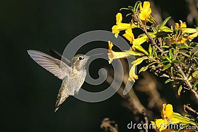 Anna s hummingbird, calypte anna