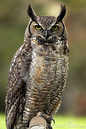 Free Annoyed Owl Royalty Free Stock Photography - 10505707