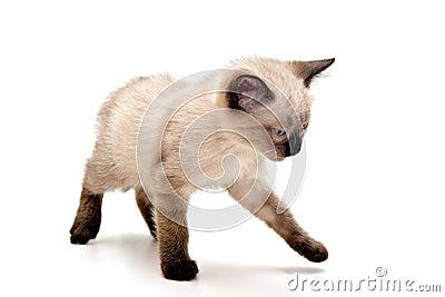 Annoyed Small Kitten