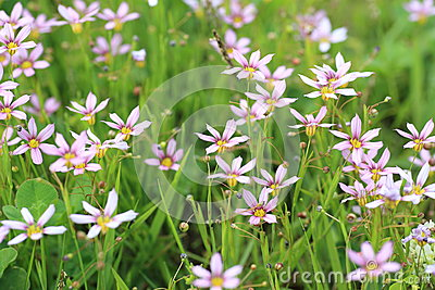 Annual Blue Eyed Grass