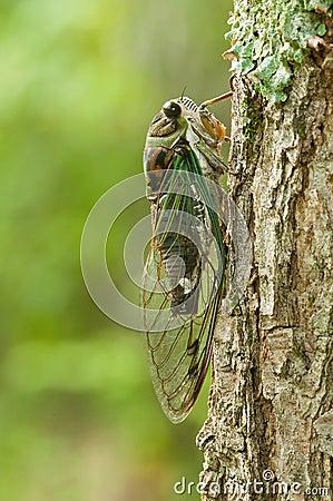 Annual cicada on tree