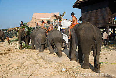 The Annual Elephant Roundup in Surin, Thailand Editorial Photography