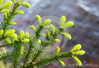Annual growth of the spruce