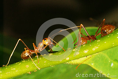 Anoplolepis gracilipes Crazy ants