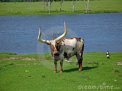 Another Watusi Bull