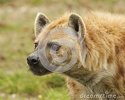 Anpirschende Hyäne