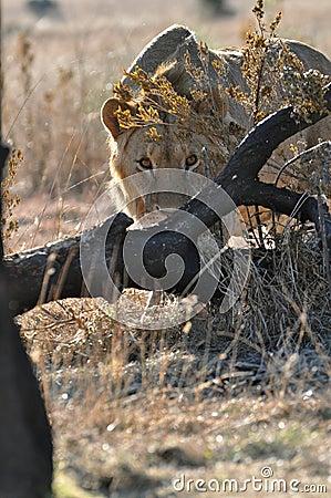 Anpirschender Fotograf des afrikanischen Löwes
