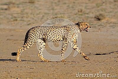 Anpirschender Gepard