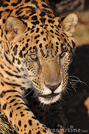 Anpirschender Jaguar
