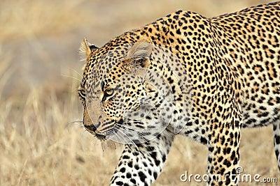 Anpirschender Leopard