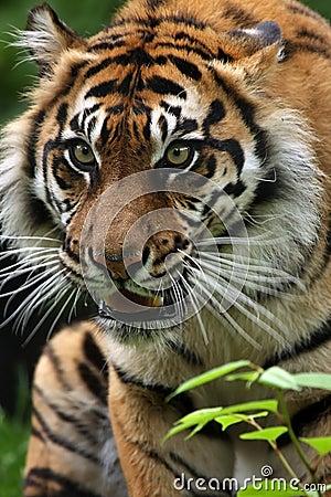 Anpirschender Tiger
