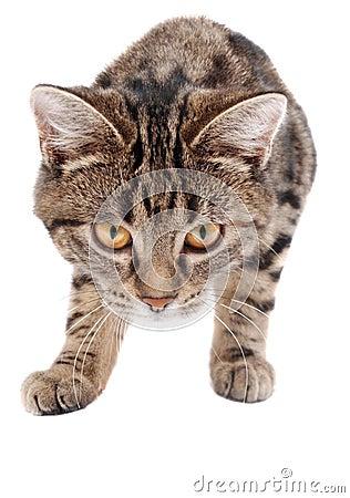 Anpirschendes Tabby-Kätzchen