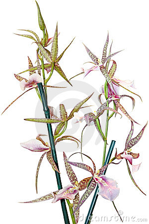 Ansellia africana Orchid