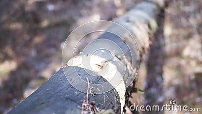 Ansicht von unten, Ernte Starker Mann Holzfäller, der Axt, Axt, Beil in den Baum einsetzt und sie, Beine und Hände zurückbekommt stock video