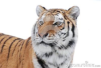 Anstarren des Tigers