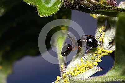 Ant and aphids