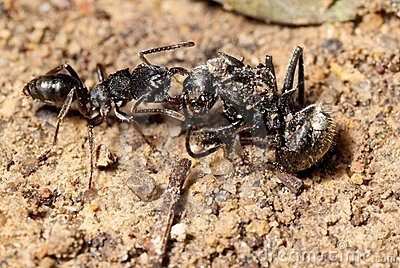 Ant attacking spider (macro)