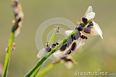 Ant breeding