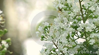 Ant Crawls op Crepe Myrtle Flower, 4K stock videobeelden