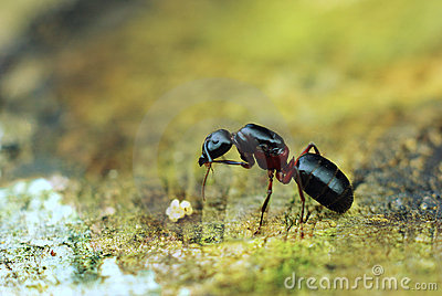 Ant with eggs