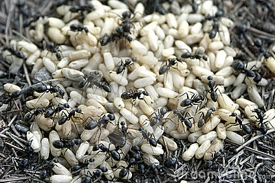 Ant and eggs