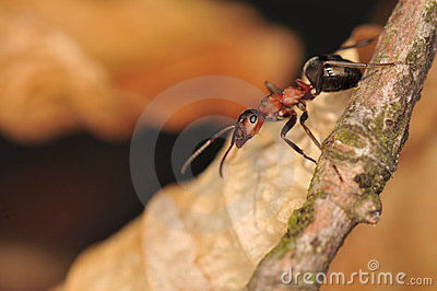 Ant - formica