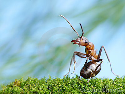 Ant formica rufa is interested