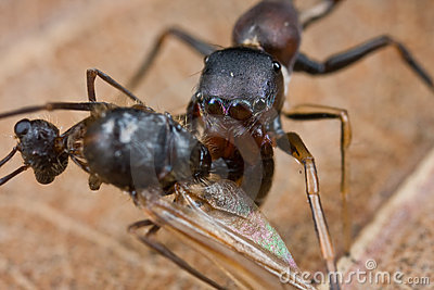 An ant-mimic with winged ant prey
