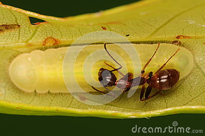 Ant is protecting the larva of butterfly/ gossamer-winged butterfly