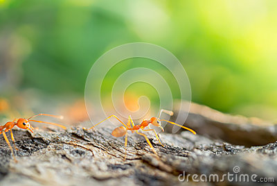 Ant in the small world following the leader