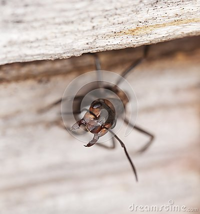 Ant solder guarding the nest.