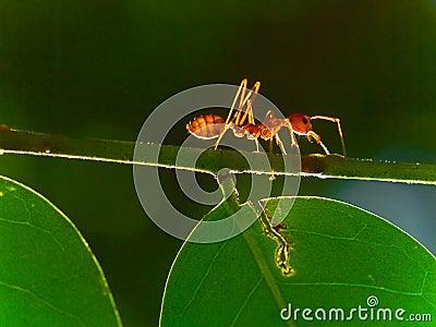 Ant Solo