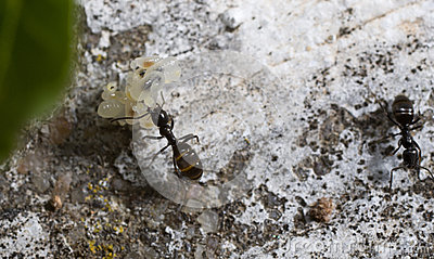 Ant transporting eggs